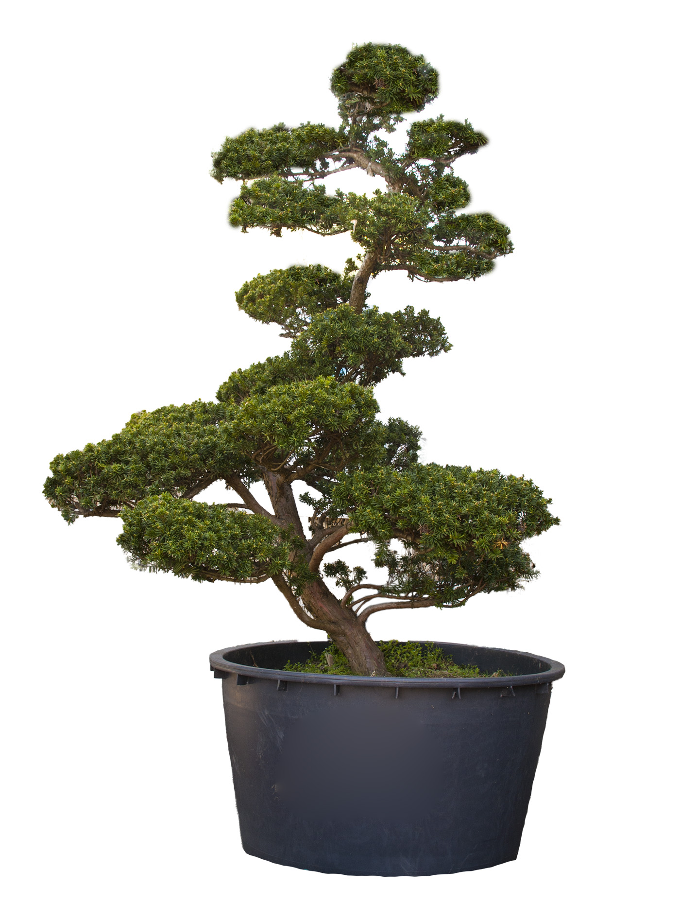 japanischer bonsai taxus cuspidata naturstein dekoration. Black Bedroom Furniture Sets. Home Design Ideas